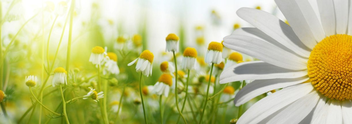 Summer flowers sunshine happy chamomile nature