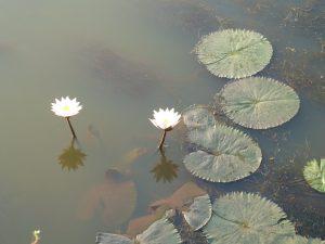 lotus mud flower nature