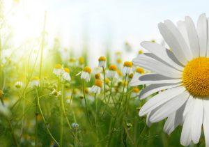 Summer flowers sunshine happy chamomile nature