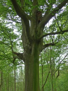 Beech tree forest nature relax