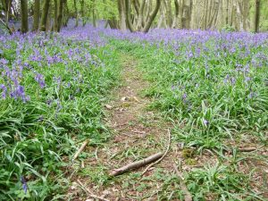 bluebells path spring nature woods tree forest relax